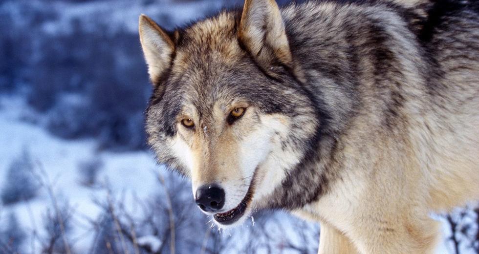 grey-wolf-banner